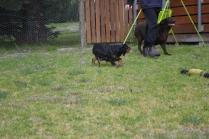 Banksia Park Puppies Chazzie - 4 of 39