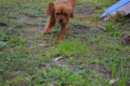 banksia-park-puppies-cosmo-1-of-22