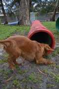 banksia-park-puppies-cosmo-12-of-22