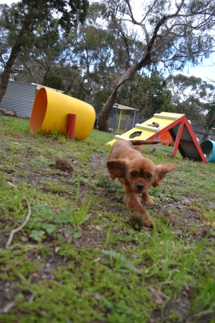 banksia-park-puppies-cosmo-16-of-22