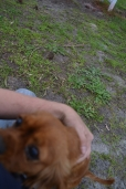 banksia-park-puppies-cosmo-2-of-22