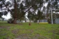 banksia-park-puppies-cosmo-7-of-22