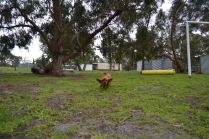 banksia-park-puppies-cosmo-8-of-22