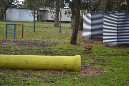 banksia-park-puppies-crunchie-1-of-25