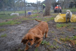banksia-park-puppies-crunchie-11-of-25