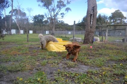 banksia-park-puppies-crunchie-16-of-25