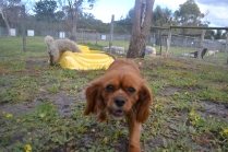 banksia-park-puppies-crunchie-18-of-25
