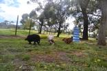 banksia-park-puppies-crunchie-22-of-25