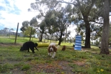 banksia-park-puppies-crunchie-23-of-25