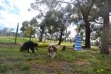 banksia-park-puppies-crunchie-23-of-25