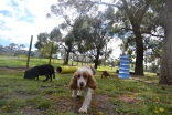 banksia-park-puppies-crunchie-24-of-25