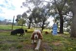 banksia-park-puppies-crunchie-24-of-25