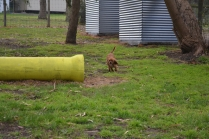 banksia-park-puppies-crunchie-3-of-25