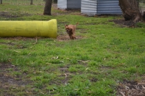 banksia-park-puppies-crunchie-4-of-25