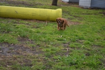 banksia-park-puppies-crunchie-5-of-25