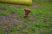 banksia-park-puppies-crunchie-6-of-25