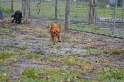 banksia-park-puppies-crunchie-9-of-25