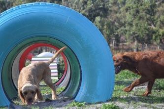 Banksia Park Puppies Cuzzle - 13 of 14
