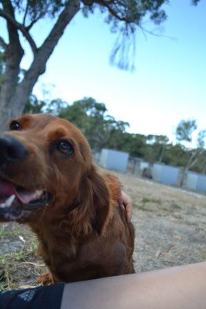 Banksia Park Puppies Cuzzle Poko