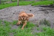 Banksia Park Puppies Harlee