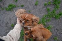Banksia Park Puppies Harper Sissi - 14 of 16