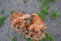 Banksia Park Puppies Harper Sissi - 2 of 16