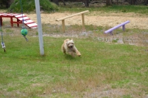 banksia-park-puppies-jacinta-wooster-ella-swoosh-21-of-51
