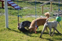 Banksia Park Puppies Luna - 20 of 48