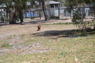 Banksia Park Puppies Muffin