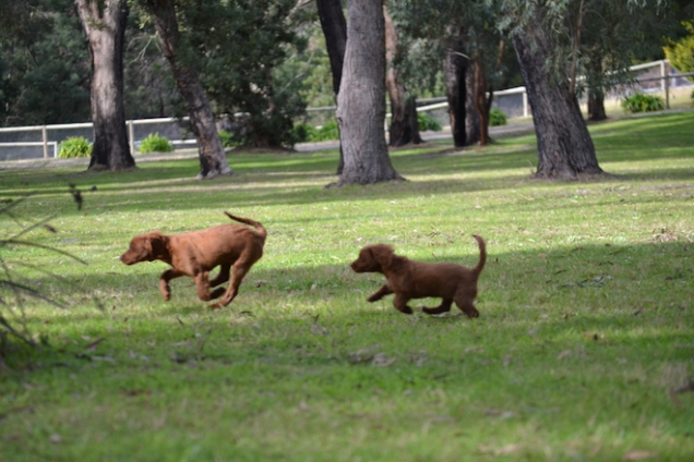 Banksia Park Puppies muffin2