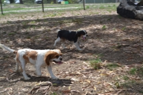 Banksia Park Puppies Petunia and Tia