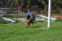 Banksia Park Puppies Poko - 16 of 19