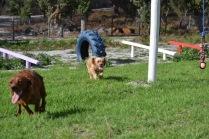 Banksia Park Puppies Poko - 18 of 19