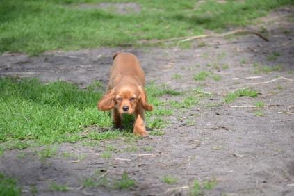 Banksia Park Puppies47