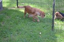 Harlee-Cavalier-Banksia Park Puppies - 1 of 24