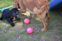 Harlee-Cavalier-Banksia Park Puppies - 10 of 24