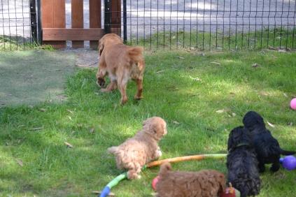 Harlee-Cavalier-Banksia Park Puppies - 11 of 24