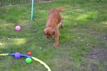 Harlee-Cavalier-Banksia Park Puppies - 12 of 24
