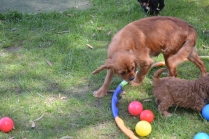 Harlee-Cavalier-Banksia Park Puppies - 13 of 24
