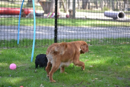 Harlee-Cavalier-Banksia Park Puppies - 16 of 24