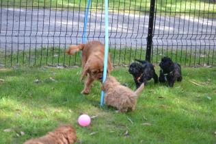 Harlee-Cavalier-Banksia Park Puppies - 17 of 24