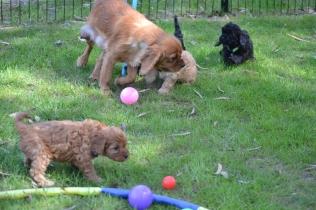 Harlee-Cavalier-Banksia Park Puppies - 18 of 24