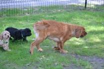 Harlee-Cavalier-Banksia Park Puppies - 19 of 24