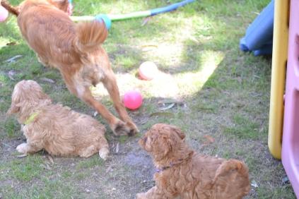 Harlee-Cavalier-Banksia Park Puppies - 24 of 24