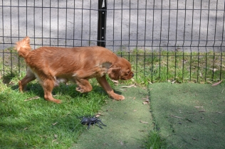 Harlee-Cavalier-Banksia Park Puppies - 4 of 24