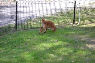 Harlee-Cavalier-Banksia Park Puppies - 5 of 24