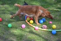 Harlee-Cavalier-Banksia Park Puppies - 9 of 24