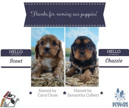 Banksia Park Puppies Scout Chazzie