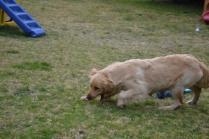 Banksia Park Puppies Hami