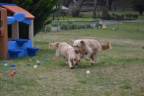 Banksia Park Puppies Hami and Snooky